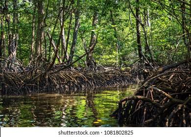 Mangrove swamp with dense foliage at Baratang island Andaman, India.