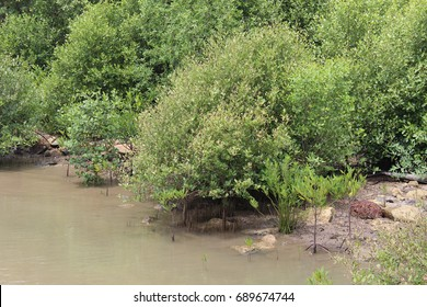 Mangrove tree. Mangrove area. Tree in sea area.