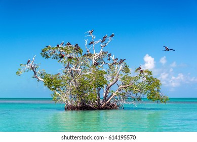 Mangrove tree in the Caribbean Sea in the Sian Kaan Biosphere Reserve near Tulum, Mexico