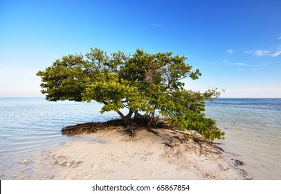 a mangrove tree (Rhizophora) beside the Atlantic ocean