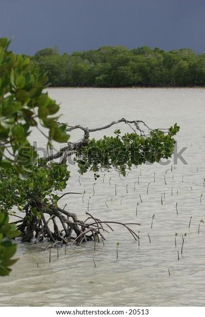 Mangrove Tree and Seeds
