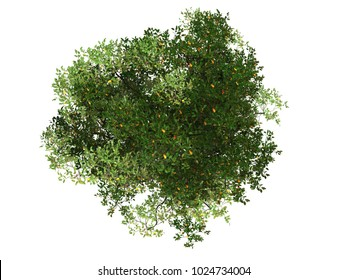 Mangrove tree top view on white background 3d rendering