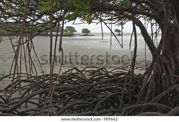 Mangrove tree whit hanging roots at Cape Tribulation Australia