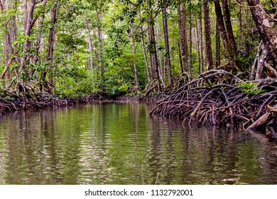 Mangrove trees along the river. The roots of mangrove trees in the mangrove forest in the tropical forest of Palawan Island, Philippines.