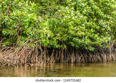 Mangrove trees along the sea