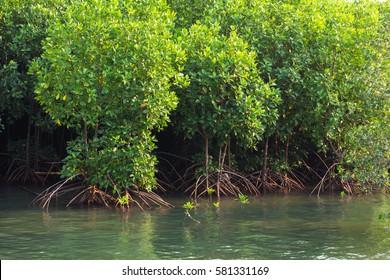Mangrove trees along the sea