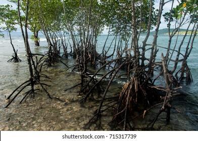 Mangrove trees, Cebu island, Philippines