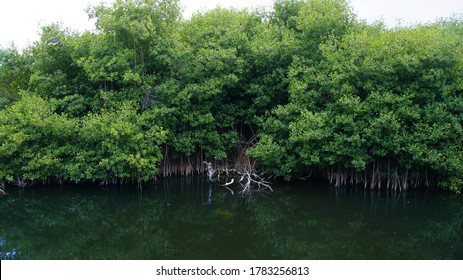 Mangrove trees growing in the water. Empty tropical forest landscape. The Yuna River (Spanish: Río Yuna) is the second longest river in the Dominican Republic.