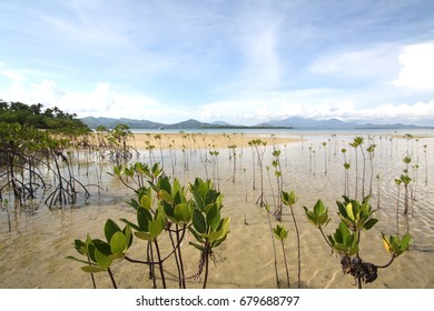 Mangrove trees in Philippines
