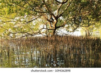 The mangrove trees the roots of the mangrove sea erosion mangrove tree