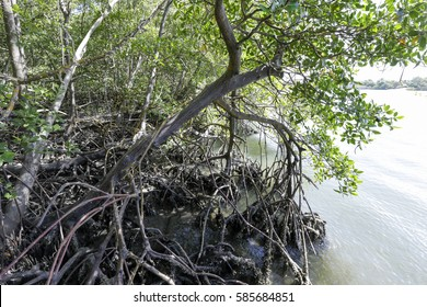 Mangrove is a typical coast ecosystem, associated with the banks of river mouths and lagoons and fundamental to feed and protect extensive food chain, on state of bahia, brazil