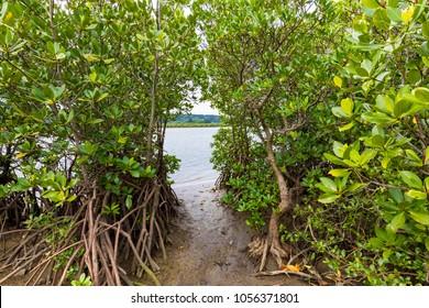 Mangrove(Kandelia obovata,B. gymnorrhiza,Rhizophora mucronata).The background is a river(Japanese name is Urayuchi River).Shooting location is Iriomote Island, Okinawa Prefecture, Japan.