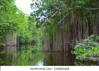 Mangroves, Black River Jamaica