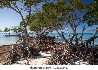 Mangroves at caribbean seashore,Cayo Jutias beach, Province Pinar del Rio, Cuba