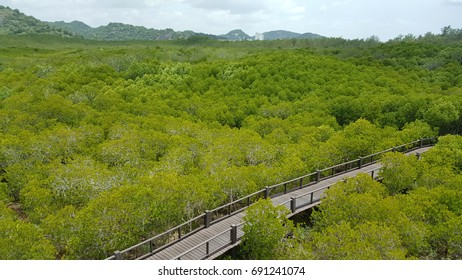 Mangroves forest  on flood plain in Pranburi national park Thailand.Mangrove Nature Trail.The bridge is wooden. Circle in a circle around 1 km.Green area.