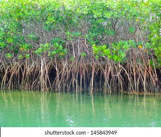 Mangroves in Green water at low tide