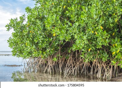 Mangroves growing in shallow lagoon Chacmuchuc in Isla Blanca, Quintana Roo, Mexico