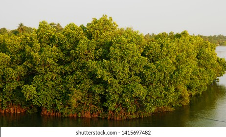 Mangroves (Kandal Kadu)are trees or shrubs that grow in salty water in hot places like the tropics.Mangroves make a special saltwater woodland or shrubland habitat, called a mangrove swamp, mangrove