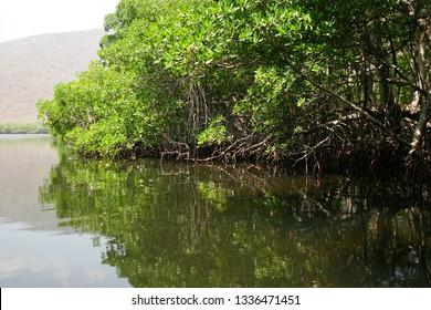 mangroves in La Cienaga lagoon in the crystalline waters of the caribbean, Venezuela. Waterway through lush mangove forest