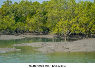 Mangroves on the mud beach at Sundarban in India