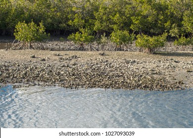Mangroves and Oyster Beds