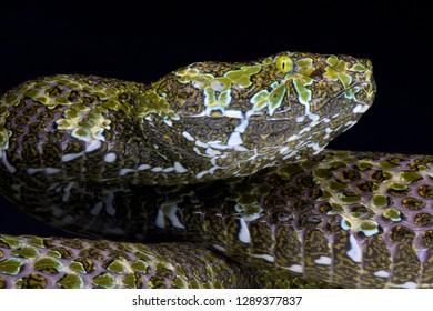 Mangshan viper (Protobothrops mangshanensis)