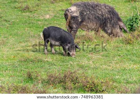 Mangulitsa Pig Her Pigs Species Originated Stock Photo (Edit