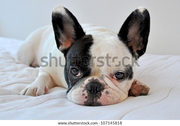 Manhattan, New York City - July 3, 2010: A pied colored French Bulldog rests comfortably on a bed.