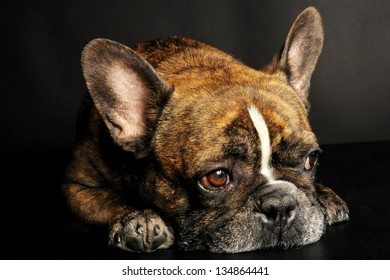 Manhattan, New York City - March 27, 2011: A reverse brindle male French Bulldog rests comfortably for a photo shoot.