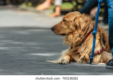 MANHATTAN, NY (August 23, 2017) - Golden retriever in deep thought at the park.