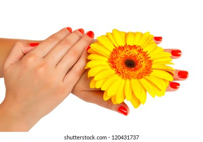 manicure on hands young woman and gerbera isolated