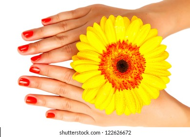 manicure on hands young woman and gerbera isolated on white background