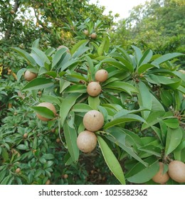 Manilkara zapota,Sapodilla,chikoo,chiku or naseberry fruit on tree