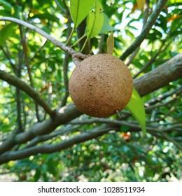Manilkara zapota,Sapodilla,chikoo,chiku or naseberry fruit on tree - Shutterstock ID 1028511934