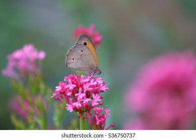 Maniola jurtina, Meadow Brown collecting nectar on pink flowers
