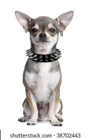 manipulated image of a Portrait of Chihuahua with face piercings and spiked collar sitting in front of white background