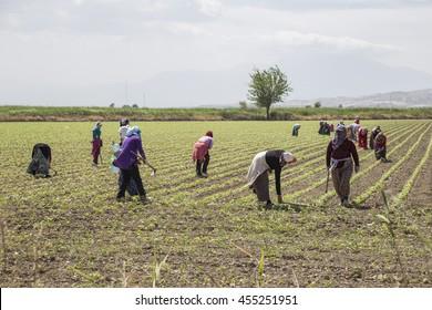 MANISA, TURKEY; People working on a field in Anataolia, Turkey.