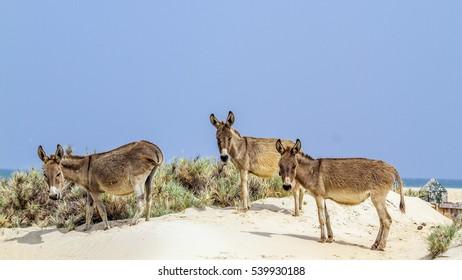 Mannar donkey in Kalpitiya beach, Sri Lanka ; specie Equus asinus family of equidae