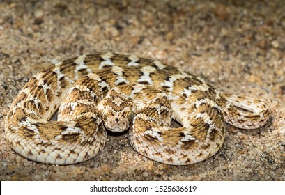 Mannar, Sri Lanka - March 23, 2017: Saw-scaled Viper (Echis carinatus) in the striking position