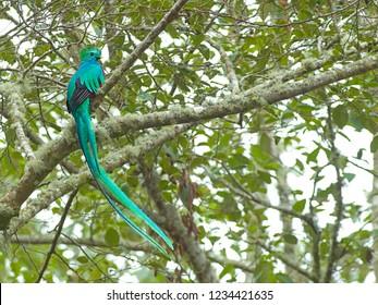 Mannetje Quetzal, Male Resplendent Quetzal