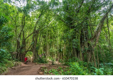 Manoa Falls, Honolulu, Hawaii - March 26, 2017: Local little red riding hood is often seen hanging off the natural banyan tree arch on manoa falls trail in manoa, near honolulu hawaii Oahu USA