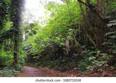Manoa Falls Trail, A tropical jungle trail is a popular spot for tourists. Honolulu, Hawaii, Island of Oahu.