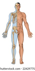 man's anatomical body, human skeleton, anatomy of human bony system, surface anatomy, body shapes, anterior view, full body