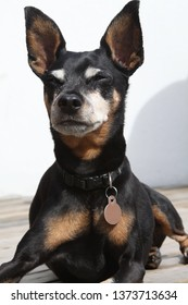 Mans best friend. Pet photography. Mini pinscher photography. Cute miniature adorable dog up closed.