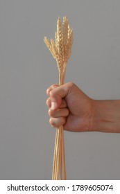 Man's hand clenches into a fist and holds ears of wheat on a white background. The spikelets are tightly compressed in a person's hand. The concept of harvesting in agriculture, labor of workers.
