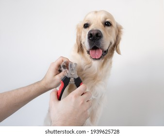 The man's hand cuts the claws of the dog. Golden Retriever makes a manicure for animals. Pet care concept, grooming.