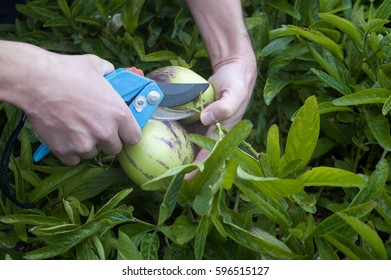Man's hand cutting two fruit of pepino dulce, a South American delicious fruit also known as sweet cucumber