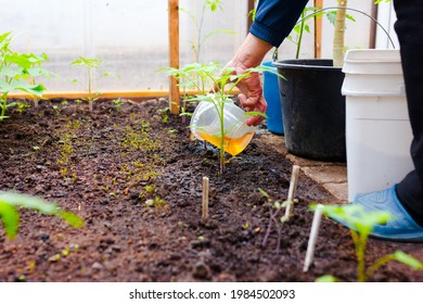 a man's hand fertilizes the tomato bushes in the greenhouse