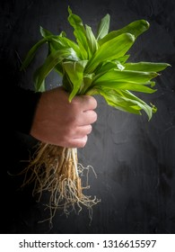 Man's hand holding green bear garlic with roots.