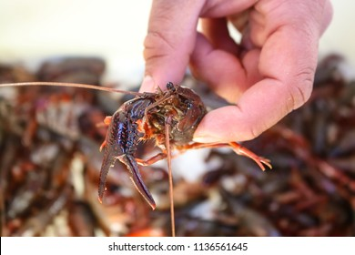 Man's hand holding a live crawdad with eyes bugging out against a blurred background of many more - shallow focus